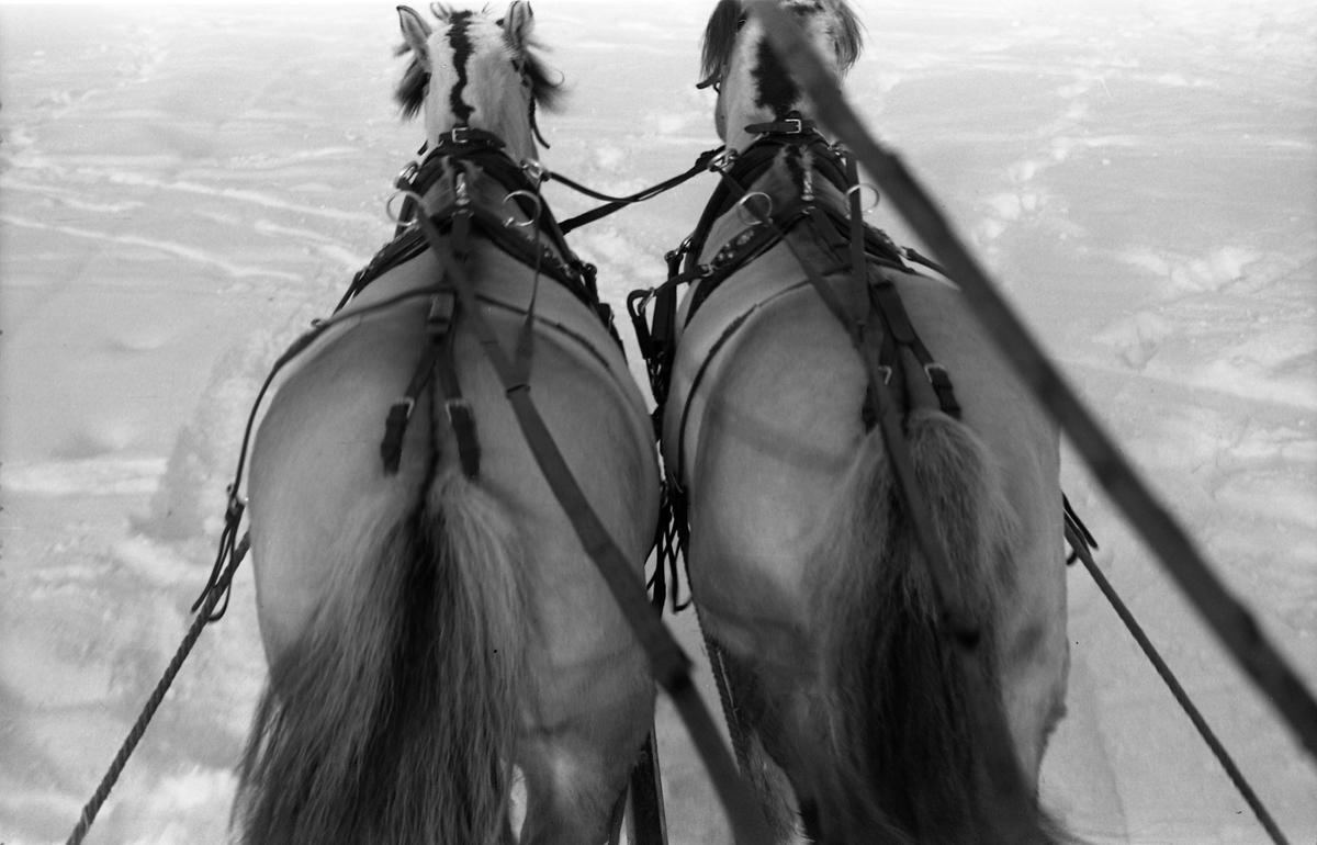 Hestespann fotografert fra kuskeplass. Bild fra Hærens Hesteskole på Starum.