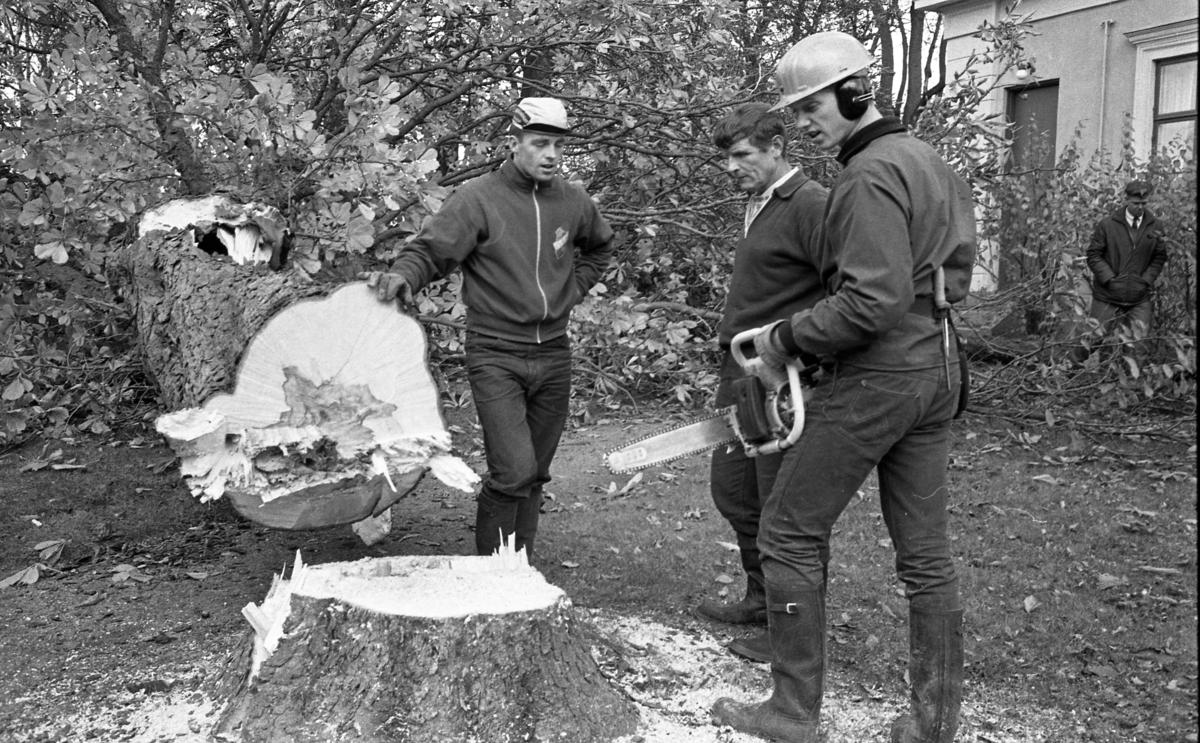 Trädfällning vid prostgården. En stor Kastanj har fallt för motorsågen. Tre män står vid stubben och en fjärde är på väg.