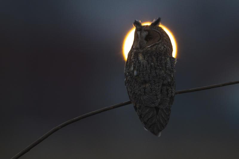Foto av en ugle som står på en gren foran måne