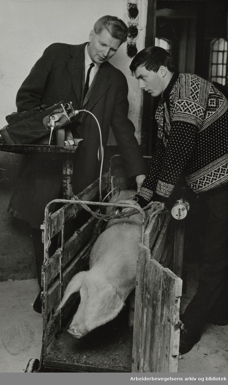 Løren. Statens Slakterilaboratorium. Generalsekretær Harald Hoff bruker ultralydapparat på en av grisene hos forpakter Nils Martin Gultvedt i Asker. Januar 1967