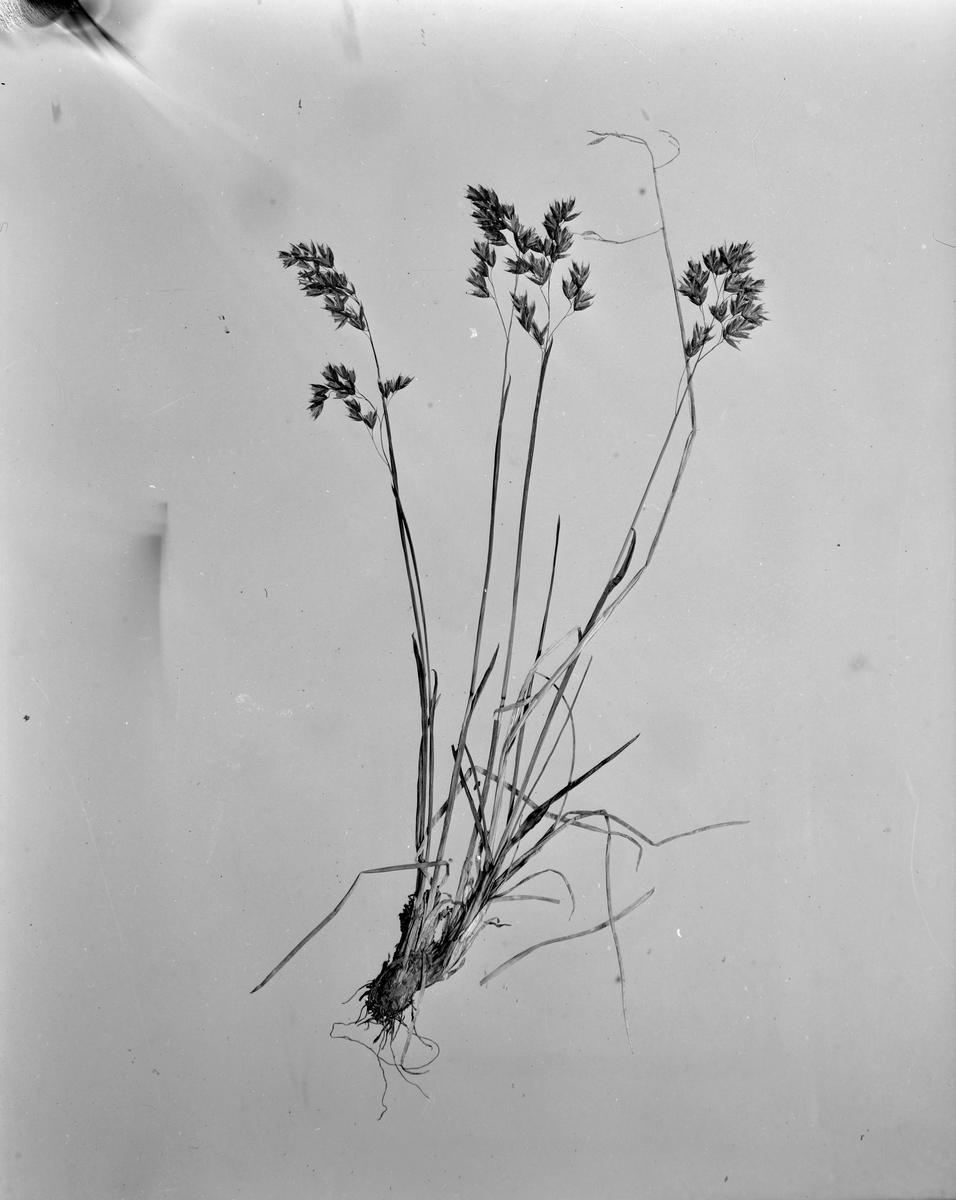 Herbarium hos Vitenskapsselskapet