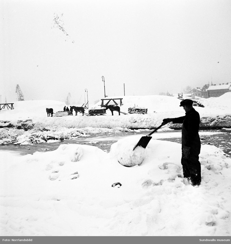 Snöröjning 1951. Hästar och lastbilar tippar sina snölass i Selångersåns mynning.