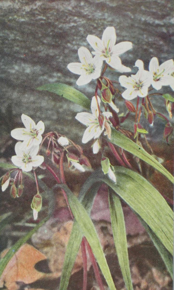 1. Wild Geranium, Geranium maculatum 2. Dwarf Cornel, Cornus canadensis 3. Spring Beaty, Claytonia virginica 4. Wind Flower, Anemone quiquefolia 5. The Yellow Adder's Tongue, Erythronium americanum