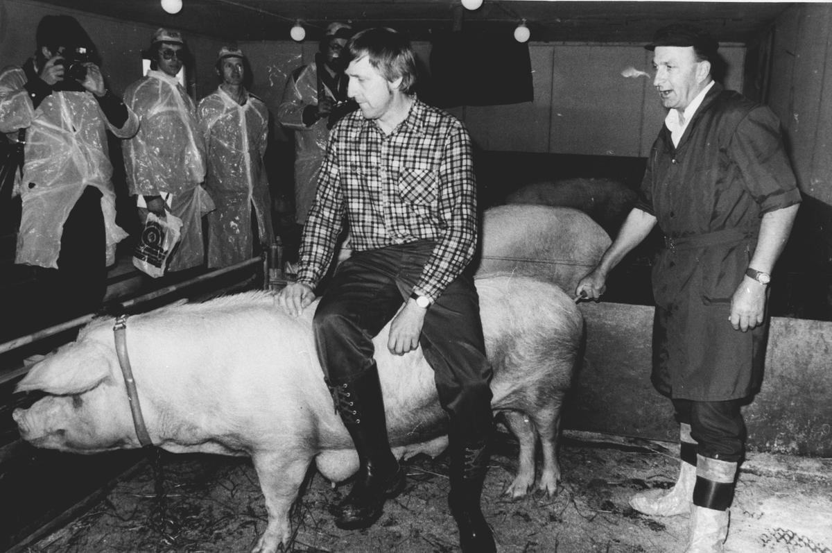 Inseminasjon av gris på Motoppen, Auli.