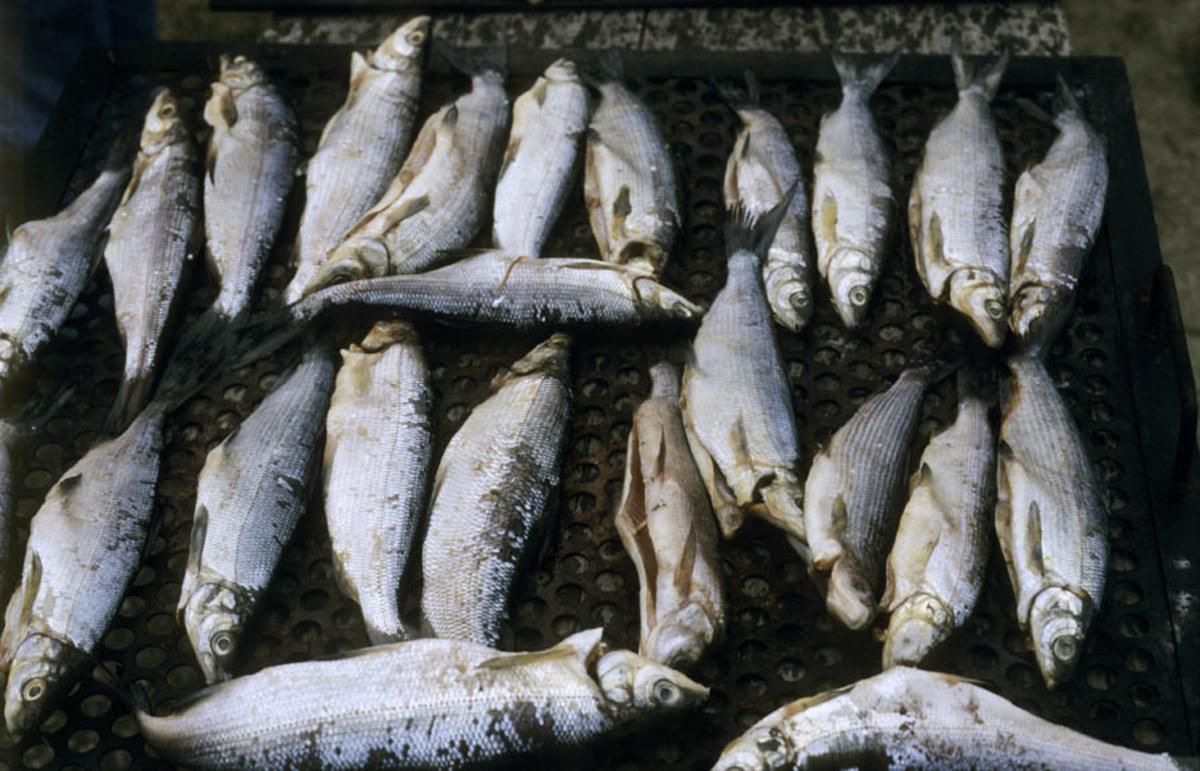 Fetsund lenser, fisk til tørk. Utstilling