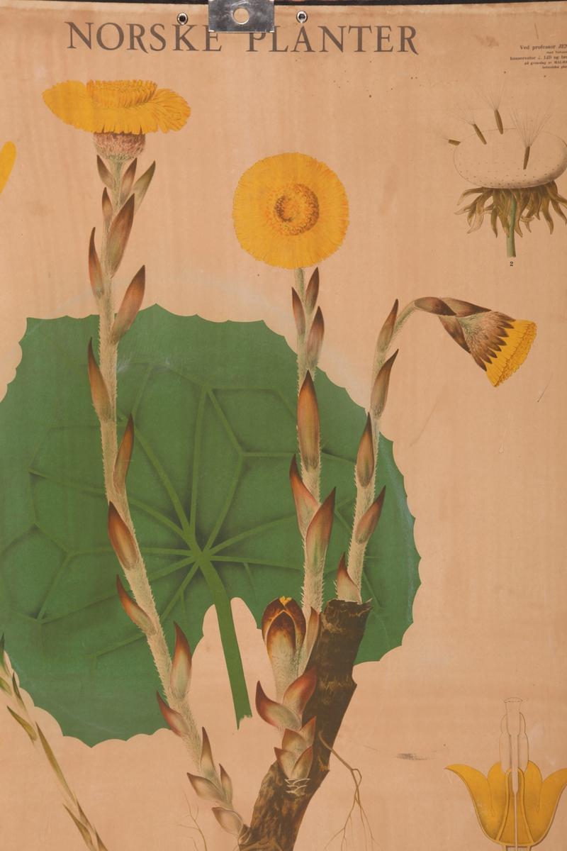 Blomster. Hestehov / leirfivel