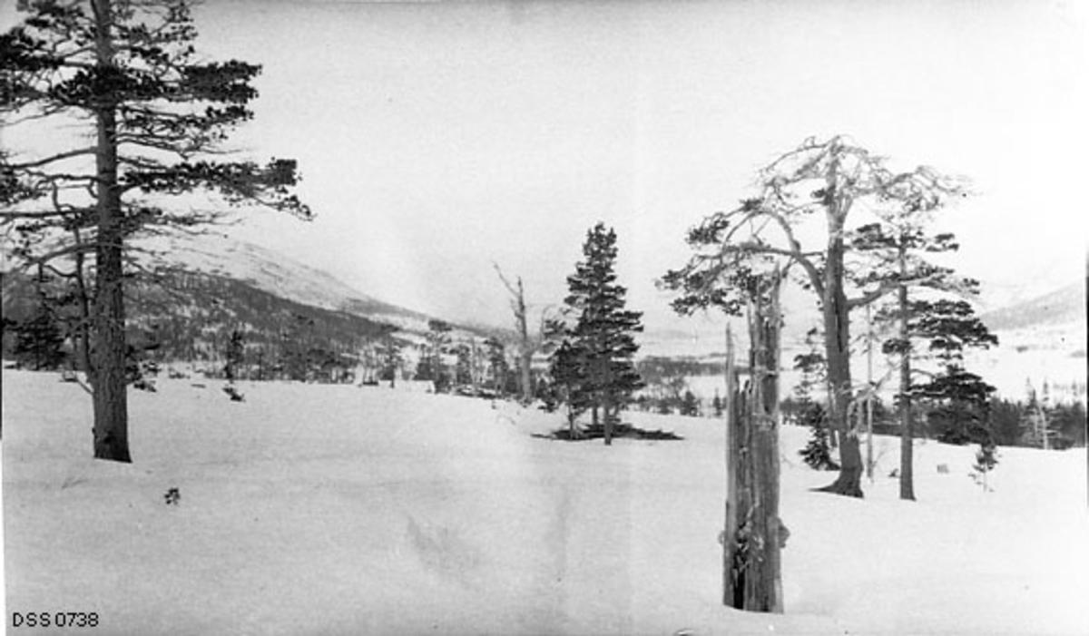 Snødekt li med gamle furutrær.  Helt i forgrunnen en råtnende, knekt stamme, til høyre bak denne et tørkende tre.  Til høyre i bakgrunnen et vatn omgitt av granskog.
