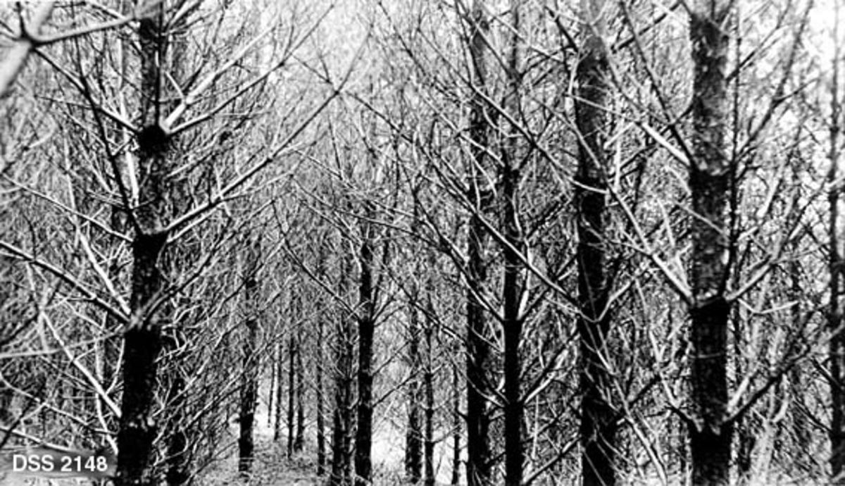 Plantet, ensaldret furubestand i Skinnanlund-Hetland statsskog.  Trærne er plantet forholdsvis tett, og det bildetutsnittet fotografen har valgt er fra ei sone der det har vært så lite lys at greinene har tørket.  Skogen antas å være tynningsmoden.