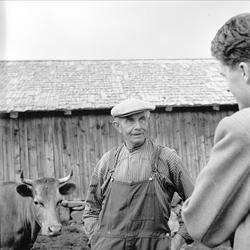 Sjusjøen, Ringsaker, Hedmark, juli 1954. Mann og ku på seter