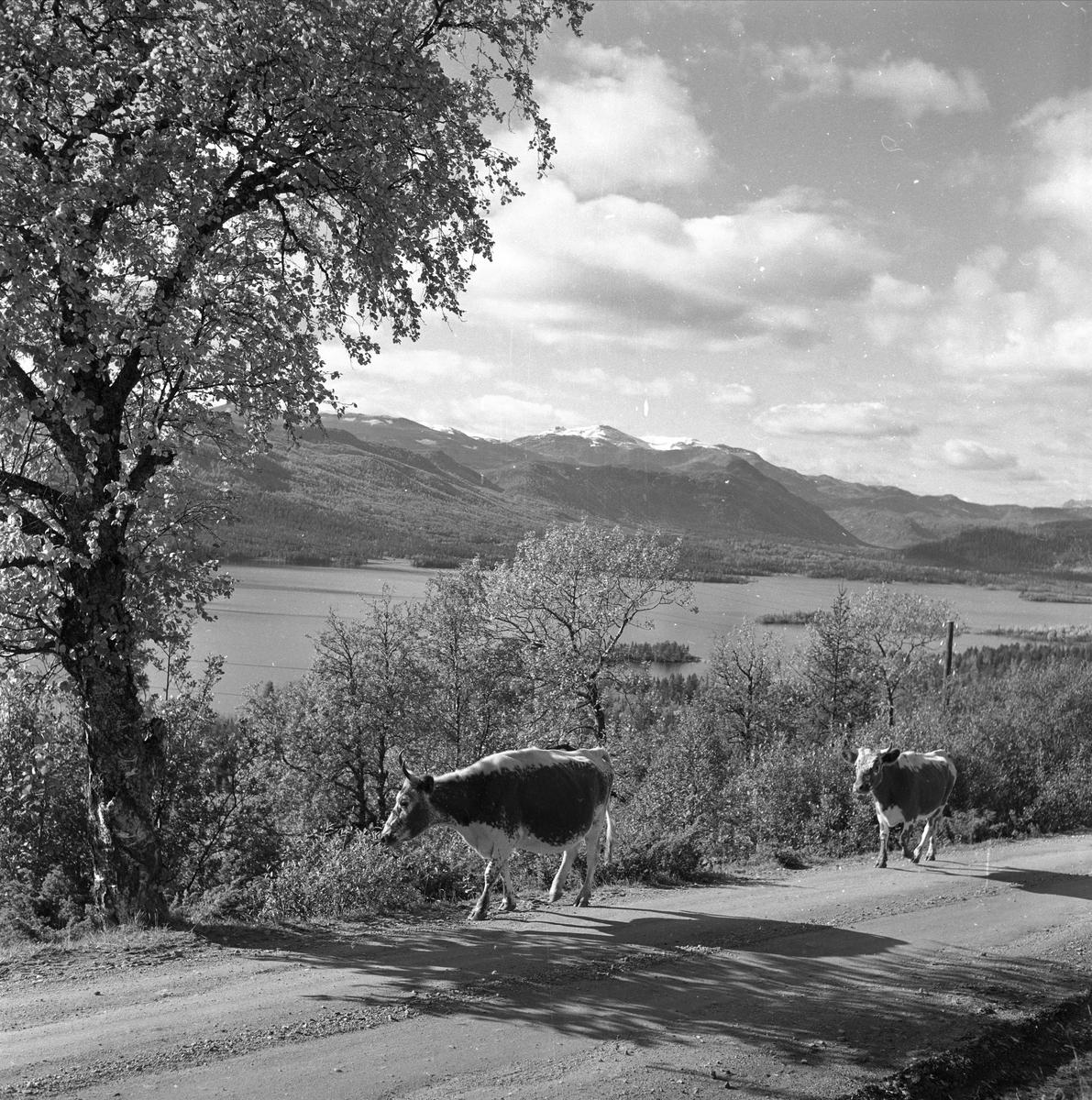 Øyangen, Øystre Slidre, Oppland, september 1957. Lykkja og Beito ved Øyangen. Landskap med kuer på vei.