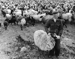 Får på Skäggs gård, ett centrum för fåraveln på Gotland