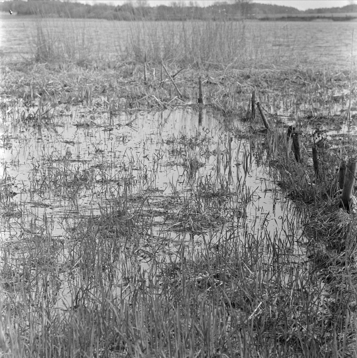 Lårstaviken vid Wiks slott, Balingsta socken, Uppland 1965