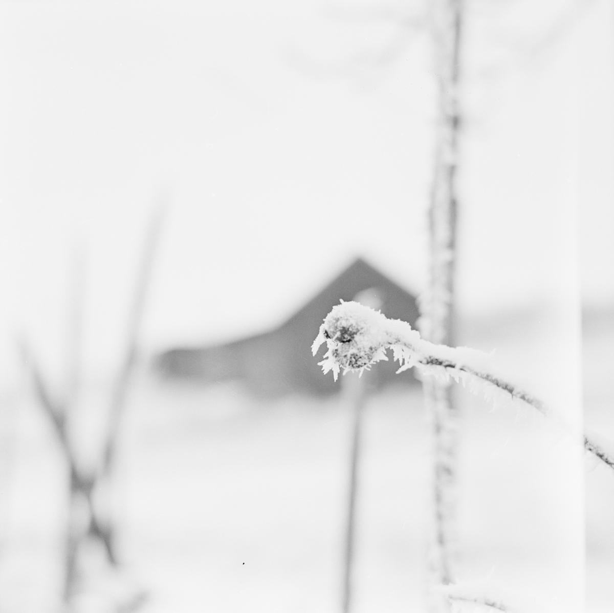 Vinternypon, sannolikt Uppsala december 1961