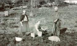 Potetopptaking Hestebakke, Smedsland i Grindheim senere Audnedal.