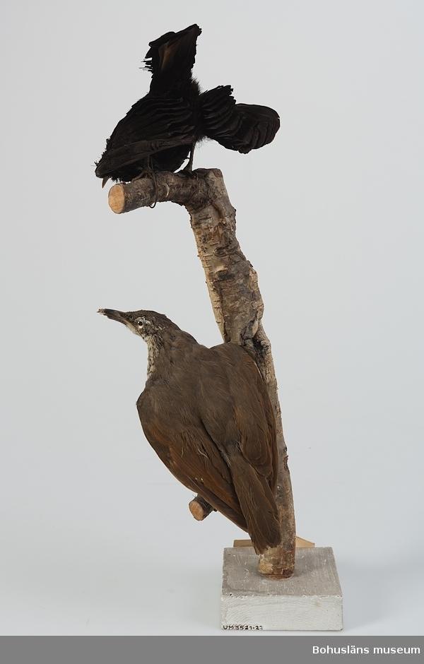 Text på handskriven etikett: No 79 och 80 Kcb 81, 82 Ptilarchis paradiseus [Ptiloris paradiseus], den övre hane, den undre hona skjuten Australien, Queensland 1891. Skänkt 1892 till Uddevalla museum av Herr Andr. [Andreas] Sundberg å Stenung i Norum Bohuslän.  Ur handskrivna katalogen 1957-1958: Ptilarchis paradiseus, 2 st. på samma kvist Queensland, Australien 1891  Ang. Förvärv, se UM003435.  Grönfjällig sköldparadisfågel; UM003521, hane, monterad tillsammans med UM003522, hona.