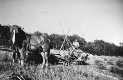 Skörd på gården Fiskebäck, Härnäset 1940