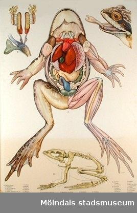 :1: Abborre.:2: Groda.:3: Snok.:4: Höna.:5: Kanin.:6: Ko.:7: Daggmask.:8: Flodkräfta.:9: Insekt.:10: Korsspindel.:11: Mussla.:12: Sjöstjärna.:13: Sötvattenspolyp.