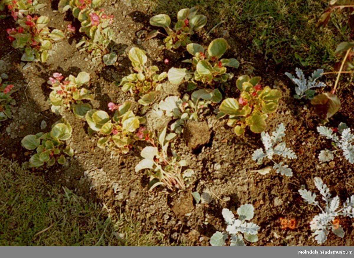 Plantor i en blomsterrabatt. Gunnebo slott, juni 1990.