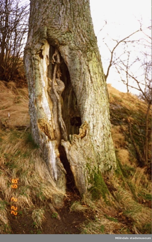 Närbild av en sargad trädstam och dess rötter.