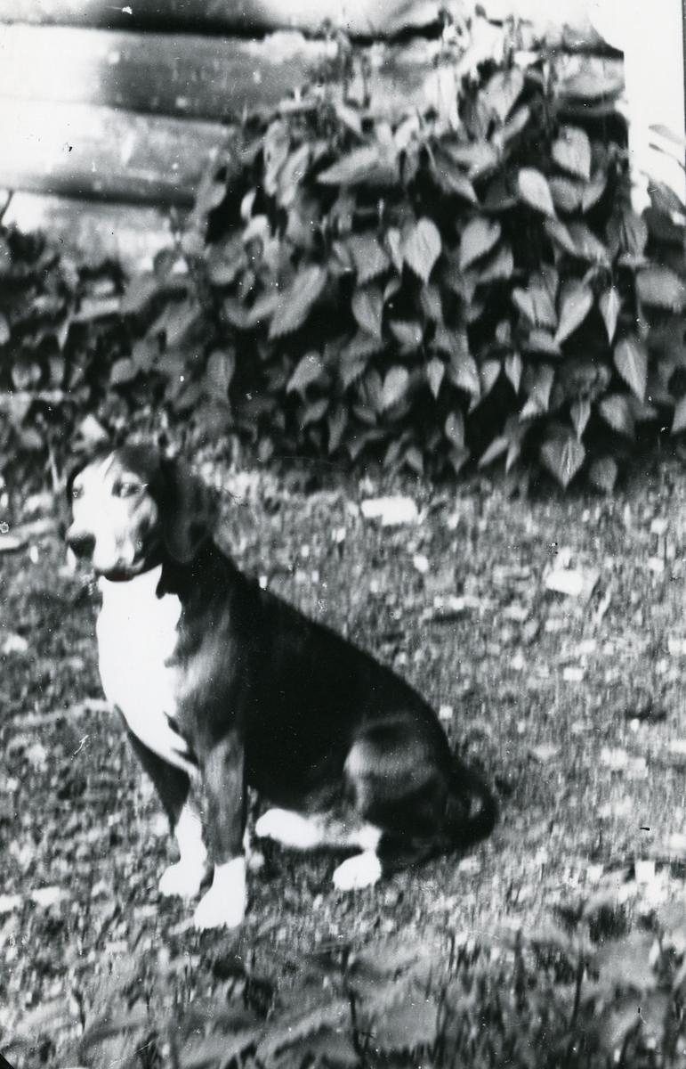 Hund foran tømmervegg og inngangsdør