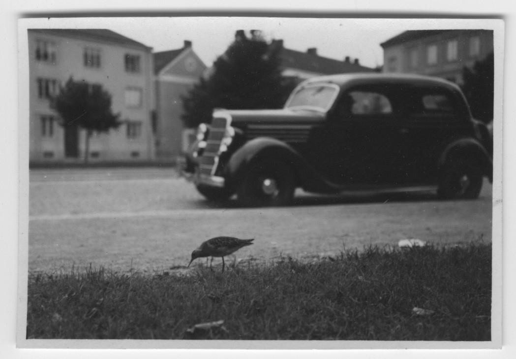 'Spovsnäppa gående vid vägkant där en bil kör förbi. I bakgrunden hus. :: Text på baksidan ''Ett 10-tal brushanar jämte 2 spovsnäppor uppehöllo sig i Örebro stad september 1935.'' ::  :: Ingår i serie med fotonr. 3495-3511.'