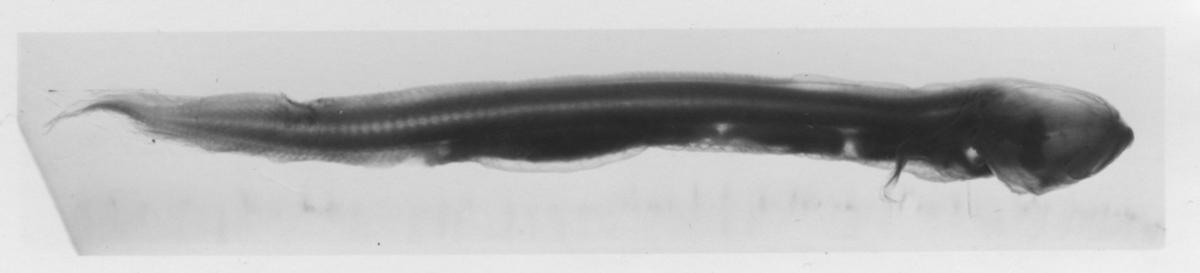 '1 st Sciadonus kullenbergii sedd från sidan. Se även fotonr. 4620. ::  :: Ingår i serie med fotonr. 4616-4620, ur Orvar Nybelin: Deep-Sea Bottom-Fishes. Plate VII, fig. 1. Reports of the swedish deep-sea expedition Volym 2 häfte 20.'
