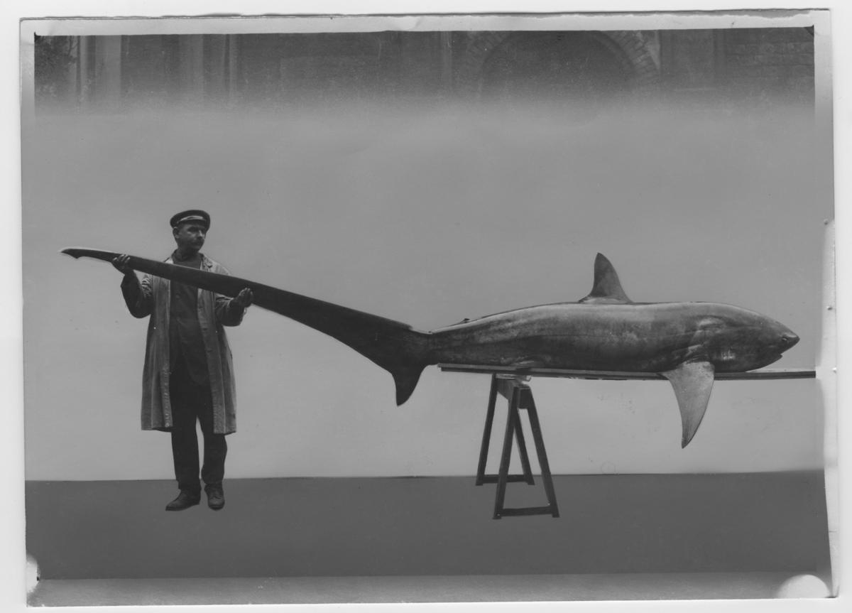 '1 st rävhaj liggande på träbänk, 1 man håller i stjärtfenan, står utanför byggnad. Rävhajen fångad 1917-10-29. ::  :: Ingår i serie med fotonr. 5600:1-5, bilder till ''Fiskar och fiske i Norden'', K.A. Andersson.'