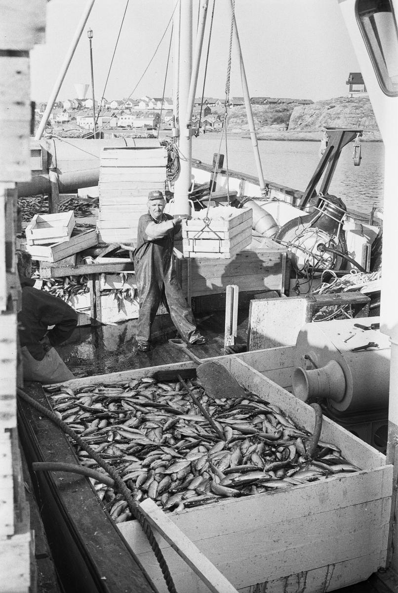 Övrigt: Sillfiske, Bohuslän