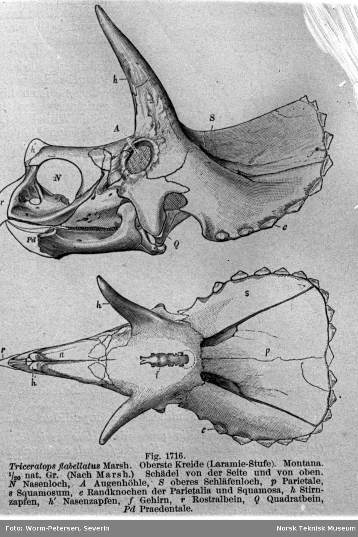 Hodeskalle, Triceratops flabellatus
