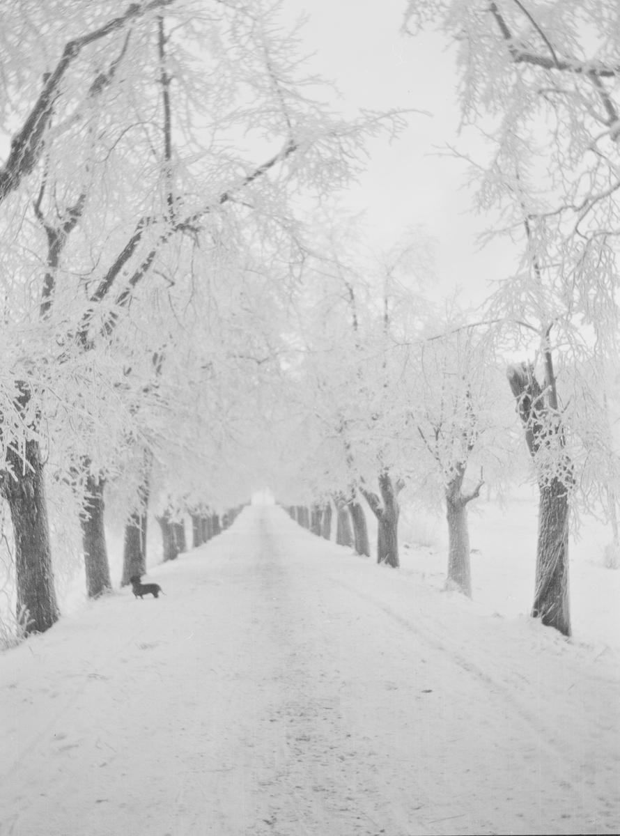 Lindealléen på Linderud gård sett i retning fra hovedhuset. Veien og trærne er dekket av snø og rimfrost. Ved ett av de nærmeste trærne står det en liten hund.