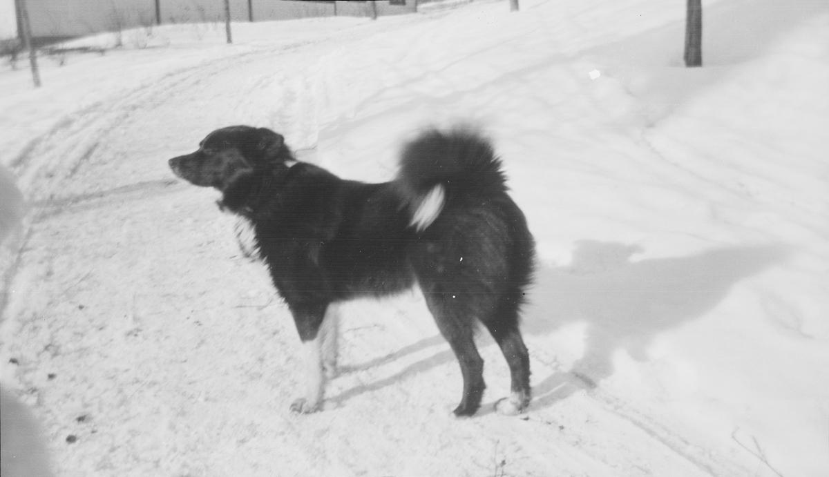 Sannsynligvis er dette en hund av typen Norsk elghund sort. Hunden står i profil på en opptråkket vintervei.