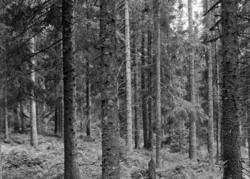 Løten Almenning. Granskog, trestammer.