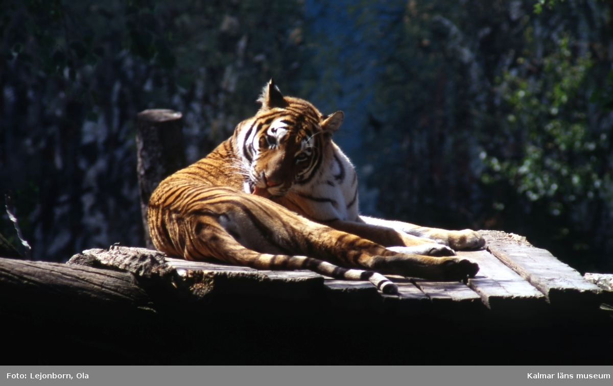 Tiger på Ölands djurpark.