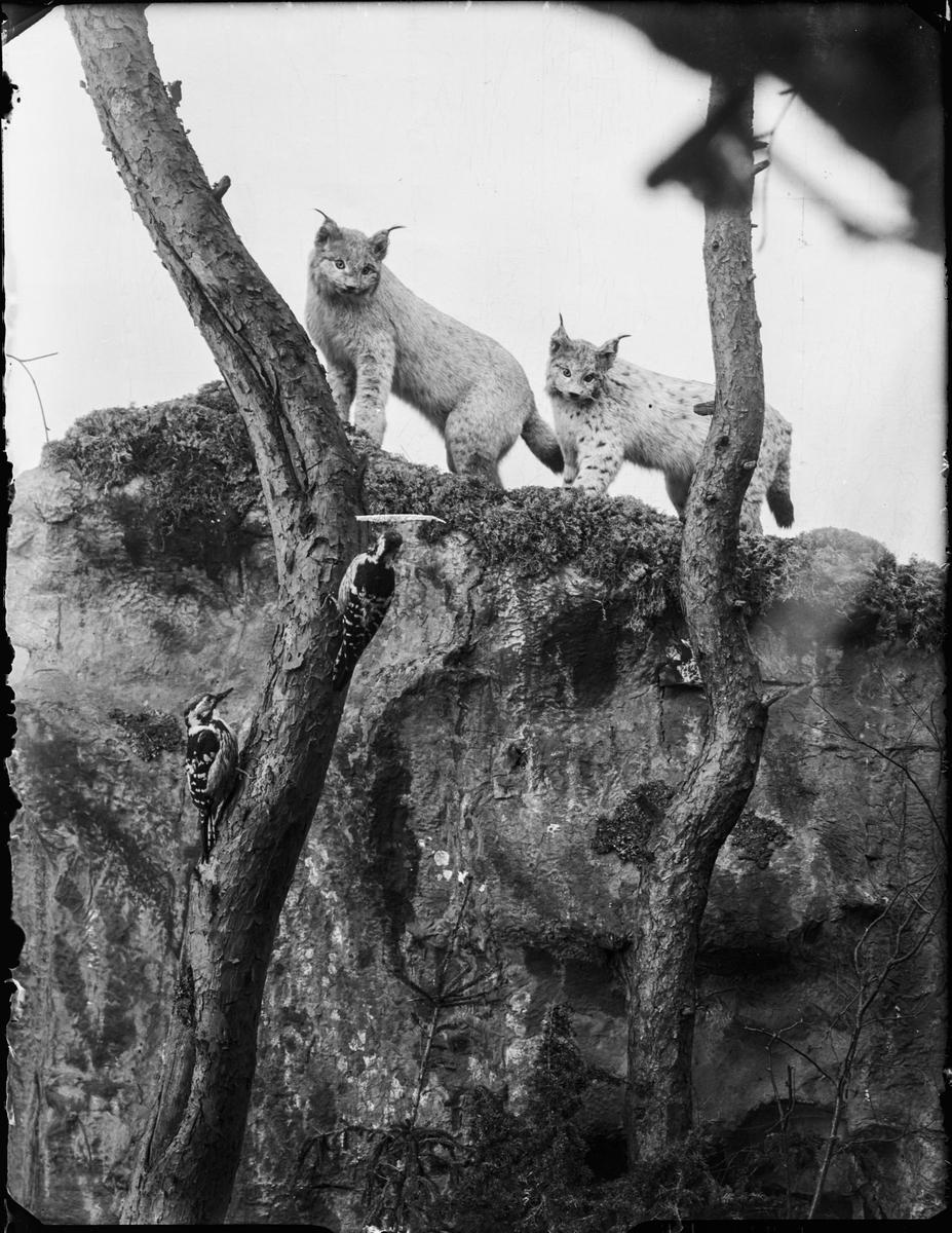 Diorama från Biologiska museets utställning om nordiskt djurliv i havs-, bergs- och skogsmiljö. Fotografi från omkring år 1900. Biologiska museets utställning Lodjur Lynx Lynx (Linnaeus) Mellanspett Dendrocopos Medius (Linnaeus)
