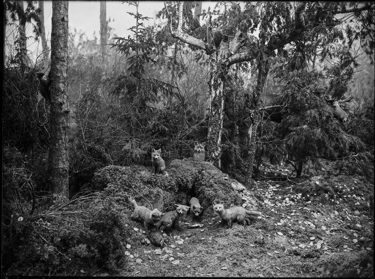 Diorama från Biologiska museets utställning om nordiskt djurliv i havs-, bergs- och skogsmiljö. Fotografi från omkring år 1900. Biologiska museets utställning Räv Rödräv Vulpes Vulpes (Linnaeus) Älg Alces Alces (Linnaeus)