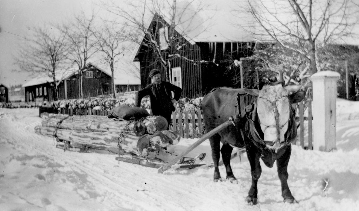 Timmerlass genom Axmarby. Sven Lindholm med sin tjur