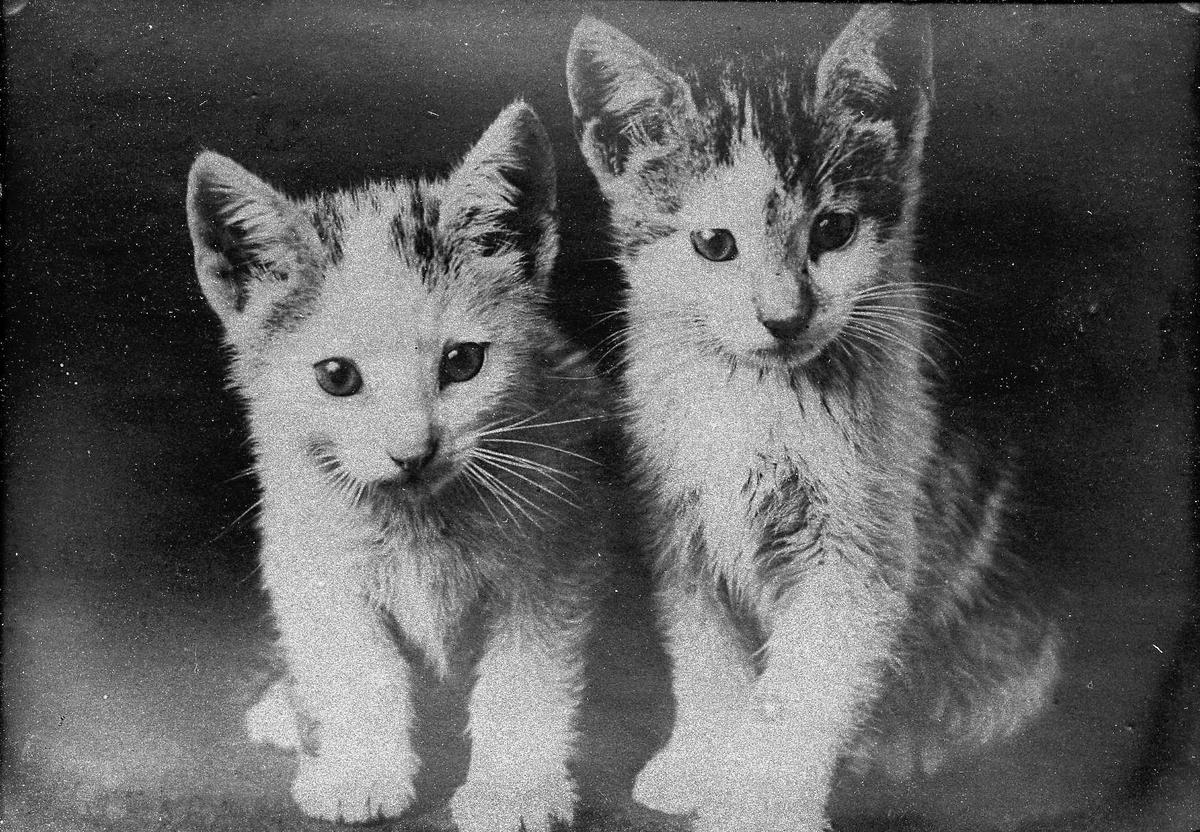 Porträtt av två katter.