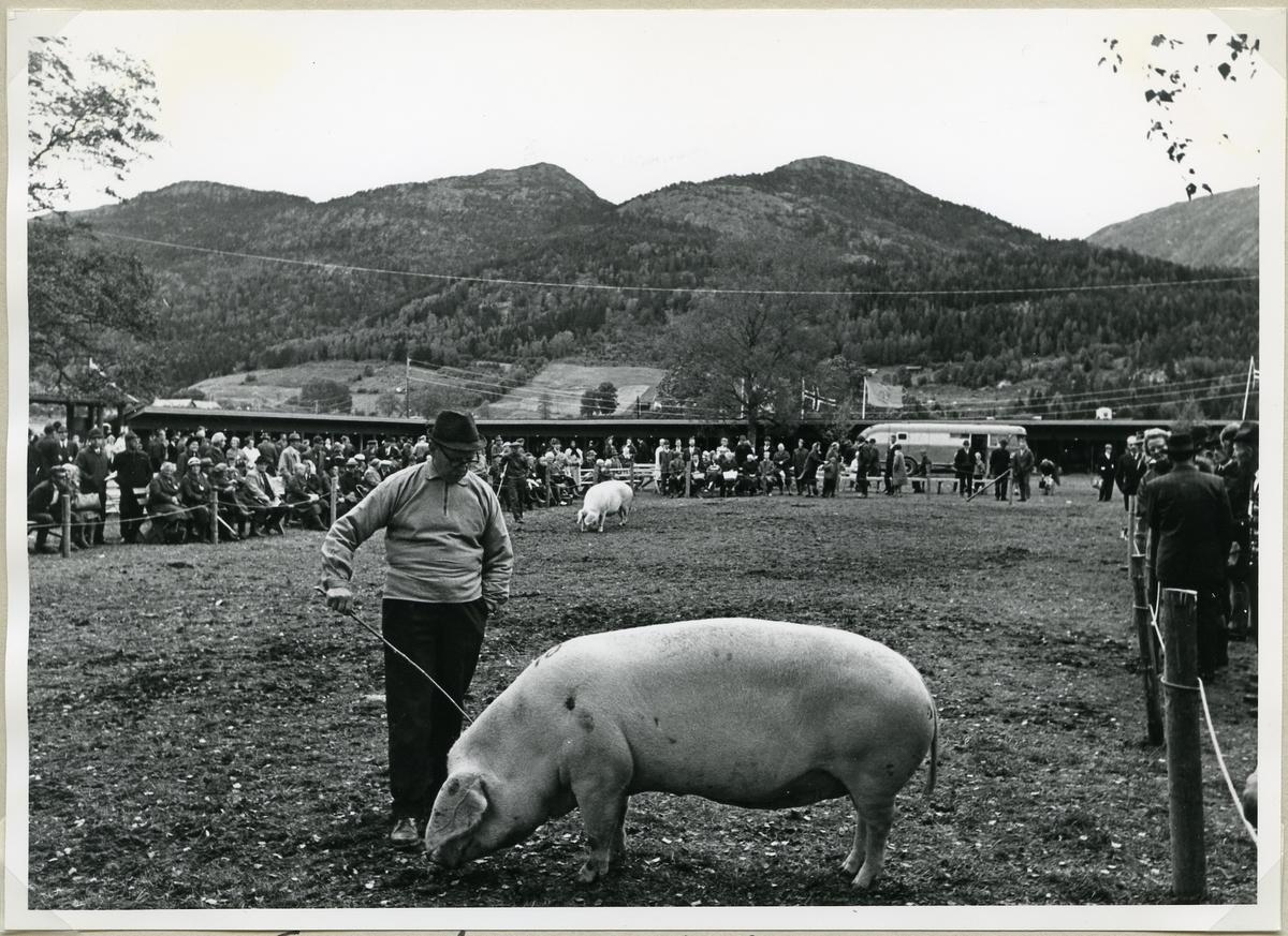 Mønstring av gris.