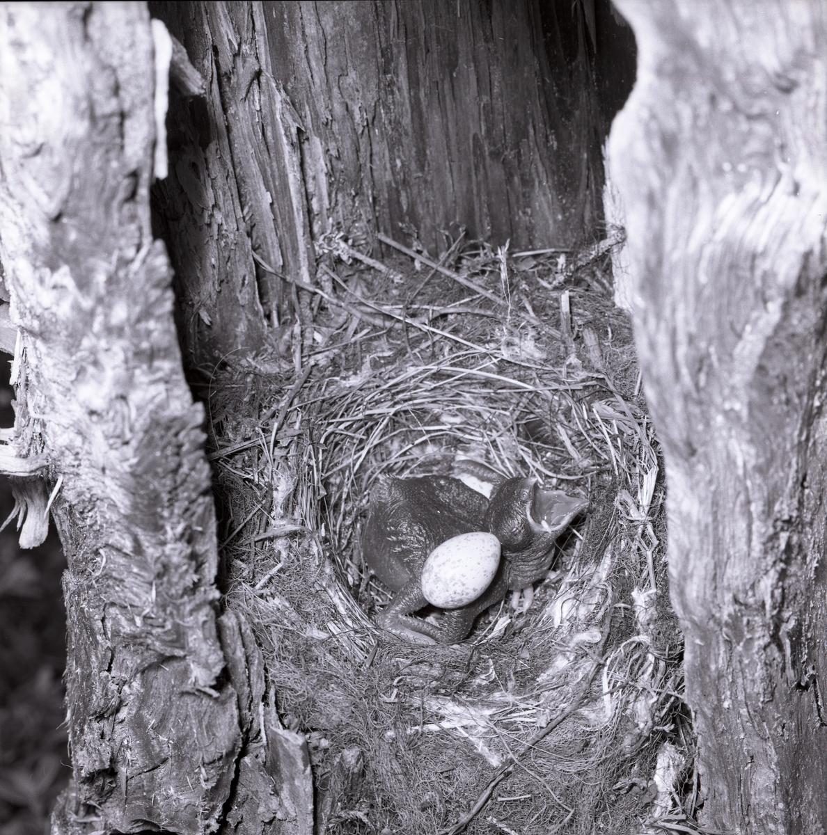 I ett fågelbo i en stubbe har en gökunge kläckts. Gökungen håller på att kasta ut de övriga äggen från boet. Fågelungen använder ryggen för att pressa ut äggen. Boet är byggt av grässtrån och kvistar samt är korgformat. 26 juni 1961.