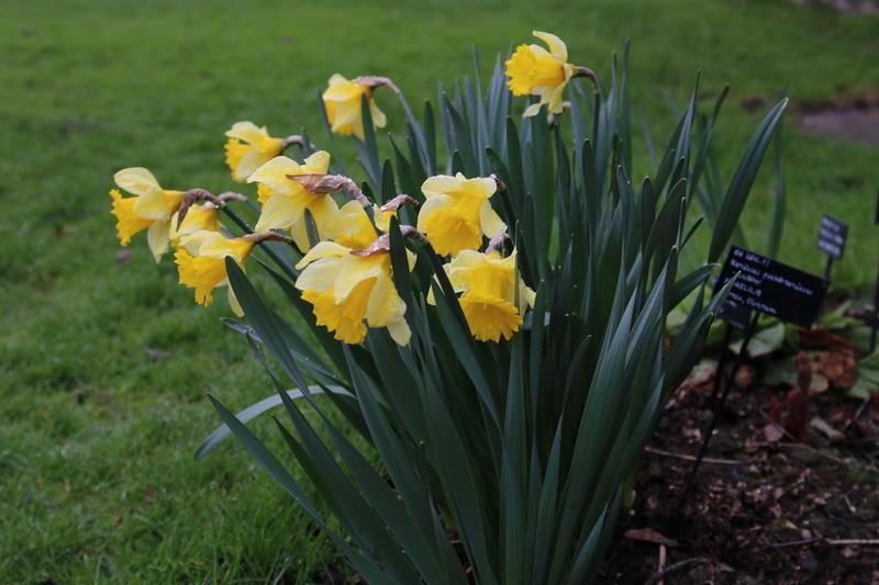Narcissus 'Emperor', en robust og frodig påskeliljekultivar som vi har fått fra Heradsbygda ved Elverum.