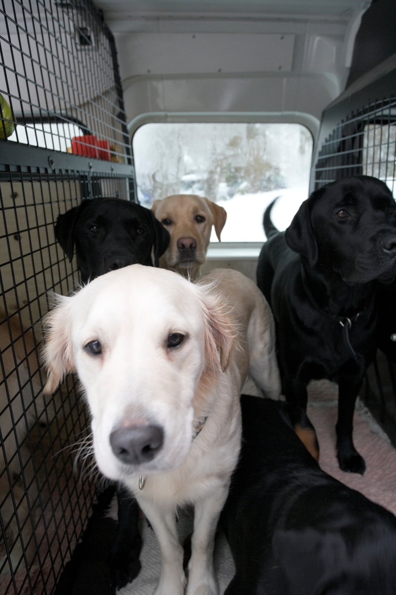 Førerhundskole. Hvit labrador i en bil som tihører førerhundskolen.