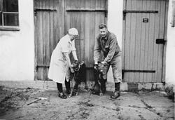 Dagny og Hans Ødegaard med tvillingkalver midt på 50-tallet.