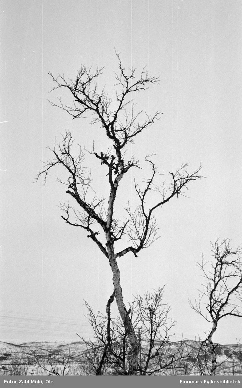 April 1968. Polmak. Landskapsbilder,, skog fotografert av Ole Zahl Mölö.