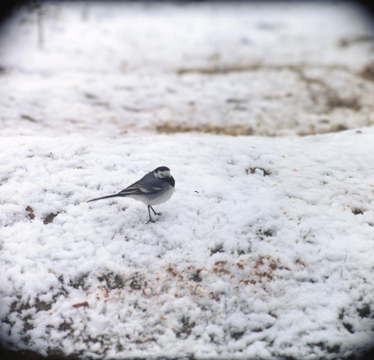 Sädesärla i snö.