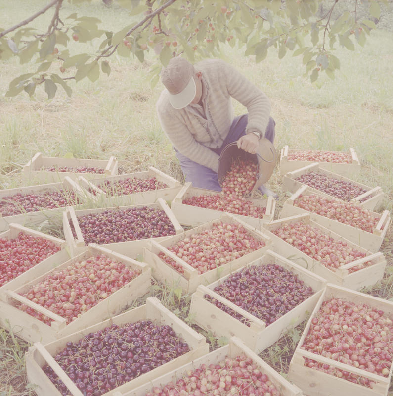 Mann med moreller/kirsebær 1958-59