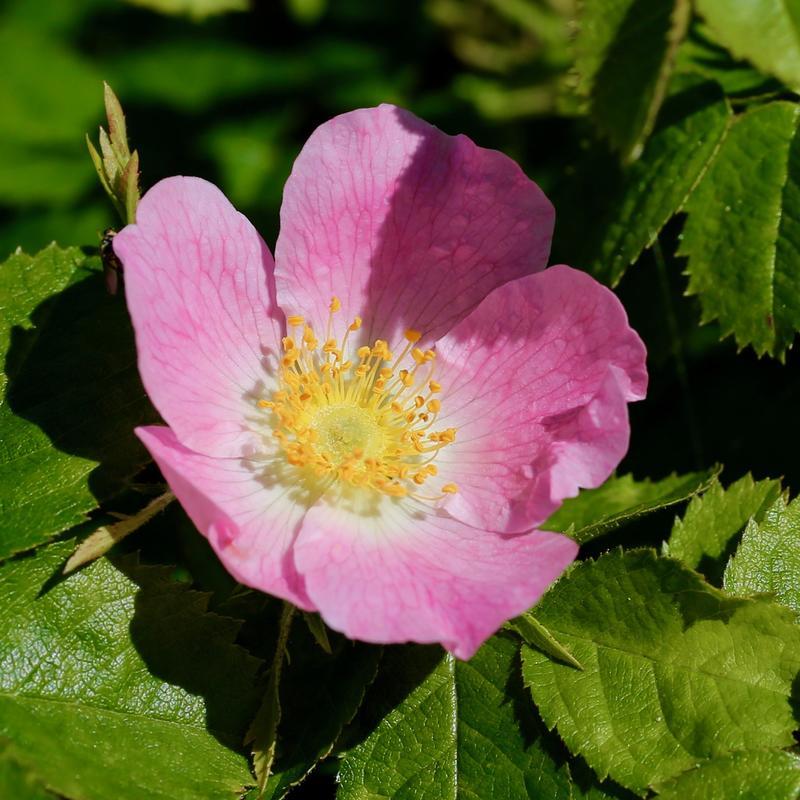 Utsprungen rosa blomst med fem kronblader og gul kjerne. Grønne blader rundt. (Foto/Photo)