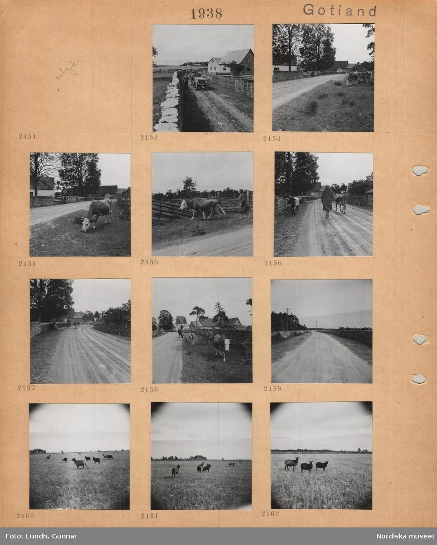Motiv: Gotland, två hästdragna kärror på smal väg mellan stengärdesgård och trästaket, gårdsbebyggelse, betande ko vid landsväg, stengärdesgård, gårdsbebyggelse, kvinna föser en flock kor på landsväg mellan stengärdesgårdar, får på betesmark.