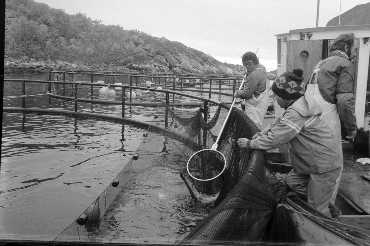 Laks tas opp fra oppdrettsmerd i Flakstadvåg.