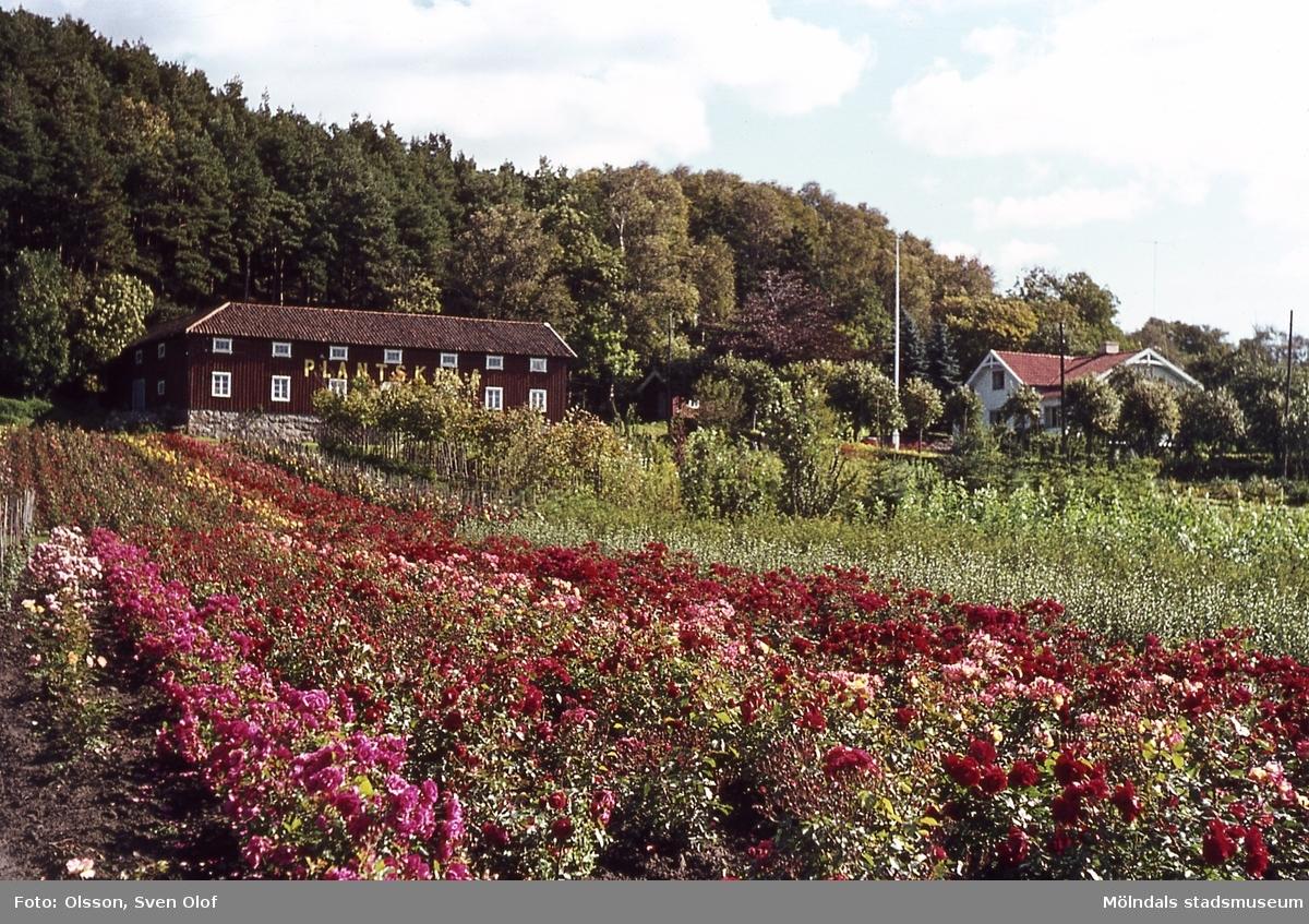 Gården Rävekärr 1 i Mölndal, år 1965. Gården arrenderades av Olhaus som drev en plantskola. R 1:10.
