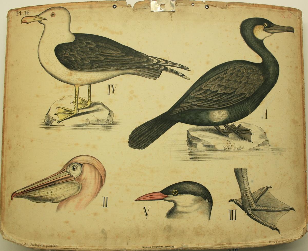 Fugleslag, Måke, pelikan, skarv m.f.